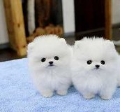 2 Pomeranian Puppies for Sale in Dothan, Alabama
