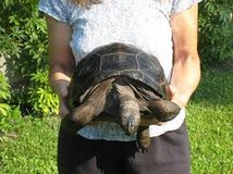 Healthy pairs Radiated, Aldabra, Sulcata tortoises in Beaufort, South Carolina