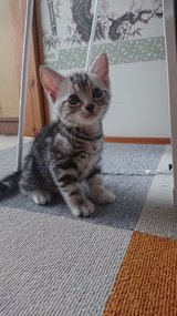 American Short Hair kitten in Okinawa, Japan