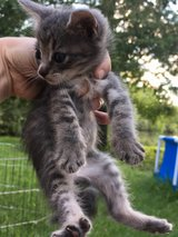 Polydactyl kittens in Spring, Texas