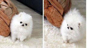 Beautiful-face Micro Teacup Pom Available!(317) 316-4692 in Fort Huachuca, Arizona