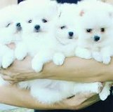 Adorable home Pomeranian Puppies/(317) 622-6465 in Little Rock, Arkansas