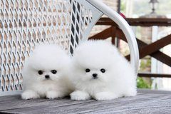 Lovely Pomeranian Puppies Now Available.(317) 316-4692 in Minot AFB, North Dakota