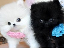 T-cup Size Pomeranian puppies for Re-homing. (317) 316-4692 in Houston, Texas