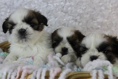 Quality Bred Family Rasied Shih Tzu For Sale..(203) 694-0908 in Charleston, West Virginia