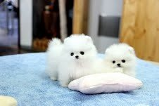 Lovely Pomeranian puppies for ready now in Charleston, West Virginia