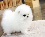 Adorable pomeranian puppies for you in Grand Rapids, Minnesota