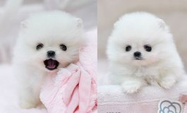 White Tea Cup Pomeranian puppies ready in Hattiesburg, Mississippi