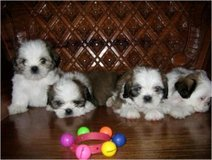 Shih Tzu puppies for sale in good homes in Birmingham, Alabama