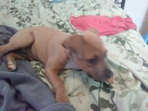 Three month old female pit in Lawton, Oklahoma