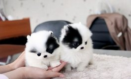 Two Tea Cup pomeranian Puppies for Adoption in Saint Petersburg, Florida