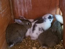 north American bunnies for sell in Elizabethtown, Kentucky