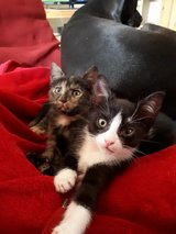 A Black and white babykitten for sale in Baumholder, GE