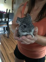 Baby Male chinchilla in Batavia, Illinois
