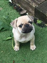 Pug X French Bulldogs Both Parents Health Tested +18059917625 in Alvin, Texas