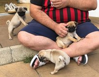 aKc Chocolate & Choc Fawn Pugs Carrying Tan & Pied in Philadelphia, Pennsylvania