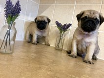 pug puppies in Philadelphia, Pennsylvania