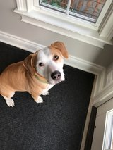 loving dog for adoption in Chicago, Illinois