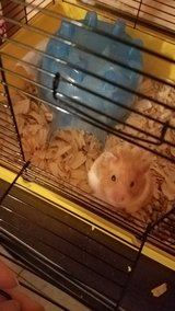 Syrian  hamster female in Hinesville, Georgia