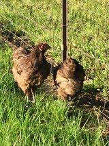 Chocolate Orpington Chickens in Fort Polk, Louisiana