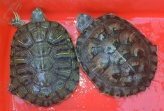 Cute adorable male and Female tortoise For a Wonderful Home in Minneapolis, Minnesota