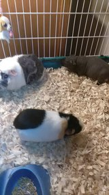 Three friendly Guinea Pigs with habitat in Lake Elsinore, California