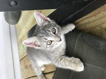 free kittens to a great home :) in DeRidder, Louisiana