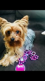 Lost Yorkie in Lake Elsinore, California