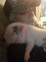 mini pot belly pigs in Conroe, Texas
