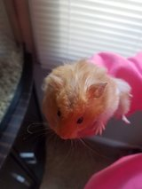 Need To Rehome A Teddy Bear Hampster/With Suplies in Clarksville, Tennessee