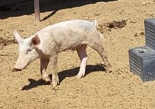 Feeder pig in Alamogordo, New Mexico
