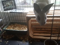 Mini Rex rabbit needs a loving home?? in Hinesville, Georgia