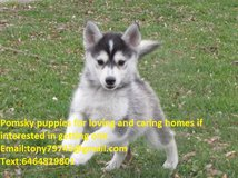 Male And Female Pomsky Puppies Available Text 6464819801 in Phoenix, Arizona