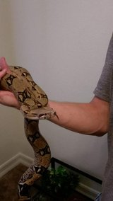 Subadult male redtail boa in Yucca Valley, California