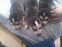 1 woolly blue eyed husky pup in Camp Pendleton, California