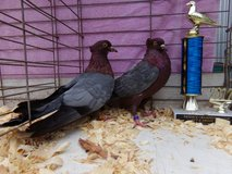 Pigeons & show chickens selling out in Cleveland, Texas