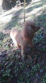 toy poodle in Kingwood, Texas