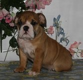 cute english bdog puppies in Guam, GU