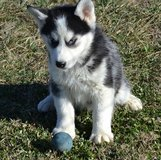 cute siberian husky  puppies in Guam, GU