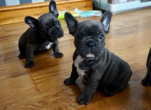 Blue French Bulldog puppies for new homes in Los Angeles, California