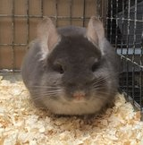 Young Brown Velvet Male Chinchilla in Chicago, Illinois