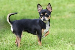 Wanted a small intact male chihuahua to breed with my female chihuahua immediately in St. Charles, Illinois