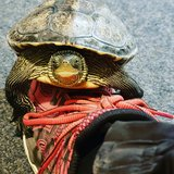 Florida Yellow Belly Slider in Ramstein, Germany