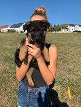 Male Puppy: German Shepherd in Grafenwoehr, GE