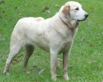 Great Pyrenees Livestock Guardian Dog in Cleveland, Texas