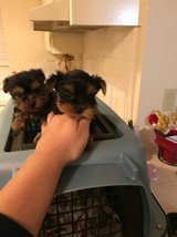 Gorgeous Tiny Pedigree Yorkshire Terrier Puppies in Los Angeles, California