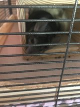 Chinchillas in Alexandria, Louisiana