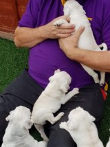 pug puppy for sale  805 991 7625 in Alvin, Texas