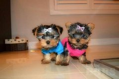 Teacup Yorkie puppies in Ansbach, Germany