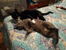 2 adult cats in Fort Campbell, Kentucky